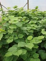 Blätter des Cercis chinensis 'Avondale'.