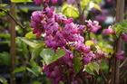 Blüte der Cercis chin. 'Avondale' im Frühjahr.