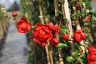 Chaenomeles speciosa 'Scarlet Storm' im Frühjahr.