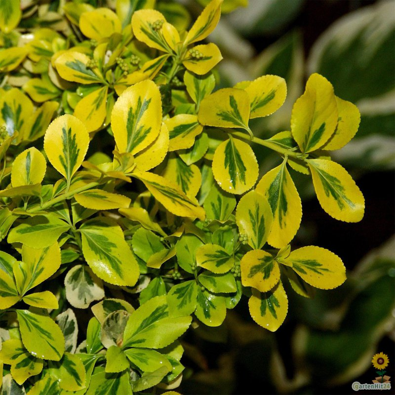 Euonymus fortunei Canadale Gold