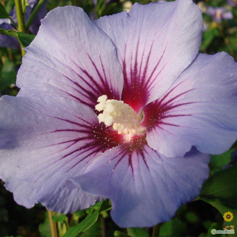 hibiscus syriacus 39 blue bird 39 garteneibisch bestellen. Black Bedroom Furniture Sets. Home Design Ideas