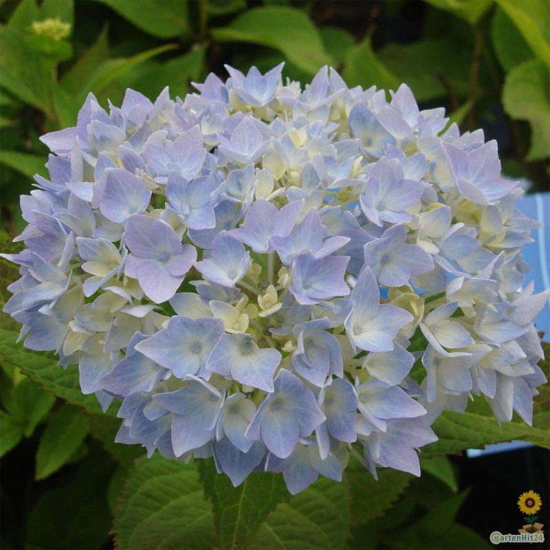 hydrangea macrophylla 39 endless summer 39 blau kaufen. Black Bedroom Furniture Sets. Home Design Ideas
