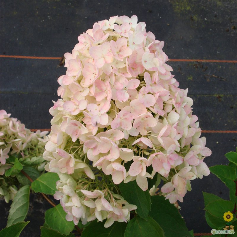 rispen hortensie hydrangea paniculata 39 grandiflora 39. Black Bedroom Furniture Sets. Home Design Ideas