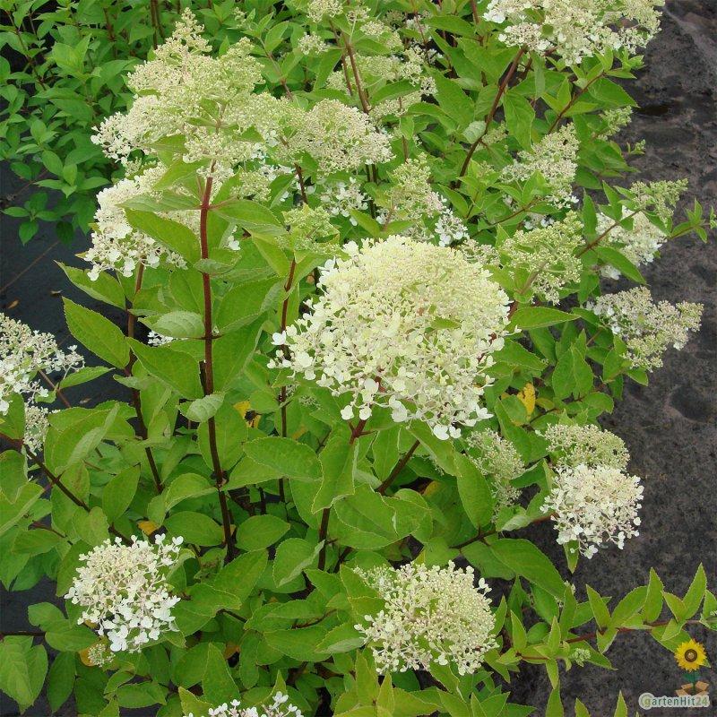 rispenhortensie limelight s hydrangea paniculata. Black Bedroom Furniture Sets. Home Design Ideas