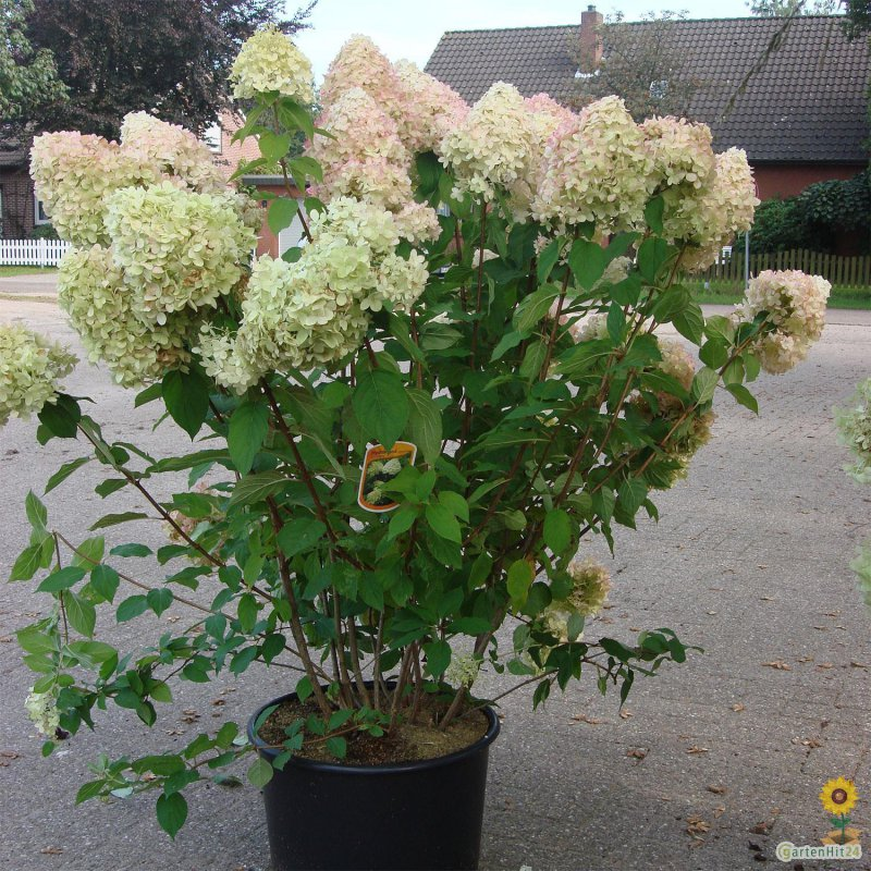 rispenhortensie limelight s hydrangea paniculata. Black Bedroom Furniture Sets. Home Design Ideas