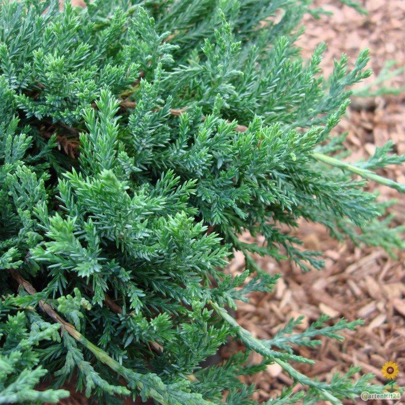 blauer teppich kriechwacholder juniperus glauca. Black Bedroom Furniture Sets. Home Design Ideas
