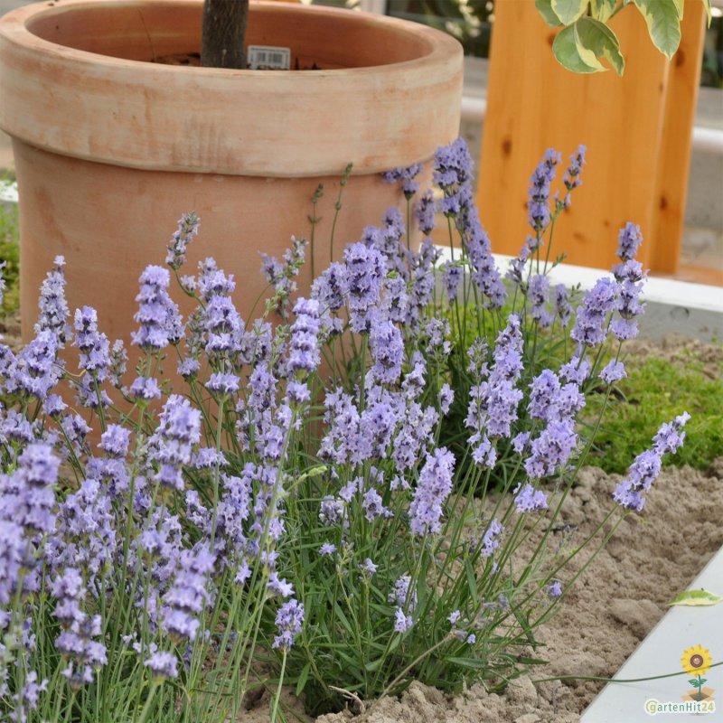 garten lavendel lavandula angustifolia 39 middachten 39. Black Bedroom Furniture Sets. Home Design Ideas