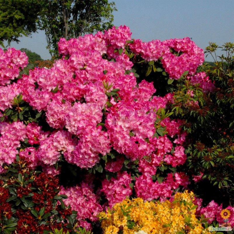 rhododendron anastasia gro blumige hybride. Black Bedroom Furniture Sets. Home Design Ideas