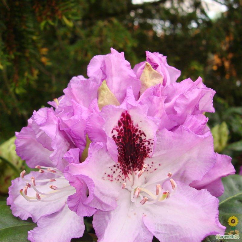rhododendron blue peter gro blumige hybride. Black Bedroom Furniture Sets. Home Design Ideas