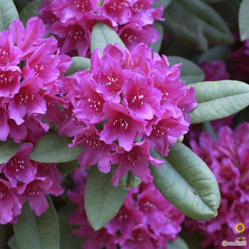 gro blumige rhododendron hybride 39 dr h c dresselhuys 39. Black Bedroom Furniture Sets. Home Design Ideas