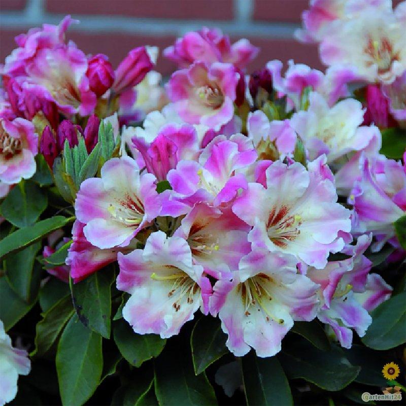rhododendron gerstenkorn gro blumige hybride. Black Bedroom Furniture Sets. Home Design Ideas