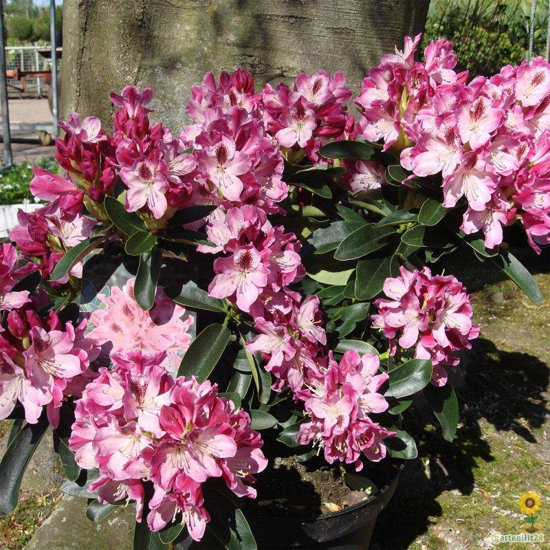 rhododendron helen martin gro blumige hybride. Black Bedroom Furniture Sets. Home Design Ideas