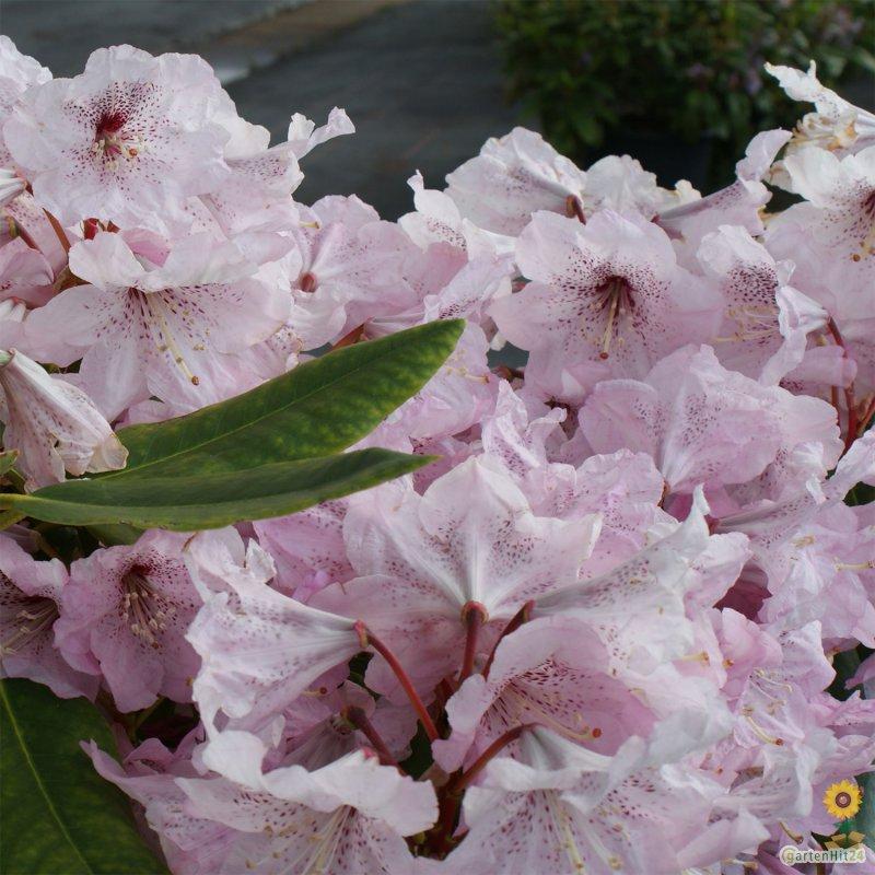 gro blumige rhododendron hybride 39 princess maxima 39. Black Bedroom Furniture Sets. Home Design Ideas