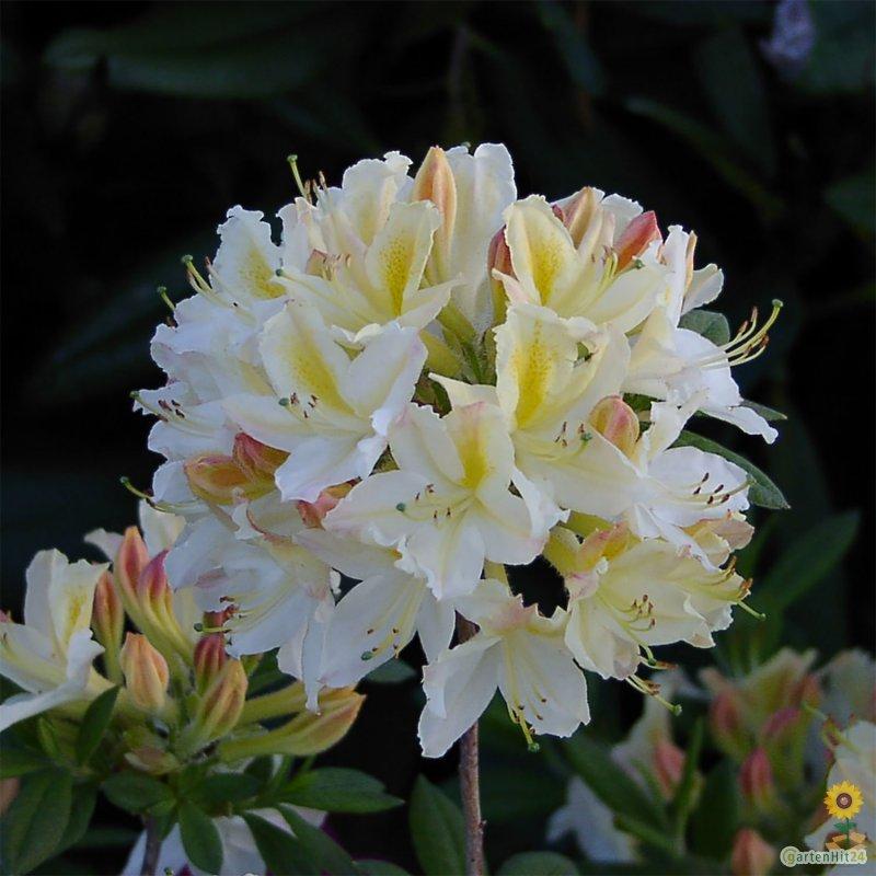 rhododendron 39 daviesii 39 rhododendron luteum 39 daviesii 39. Black Bedroom Furniture Sets. Home Design Ideas