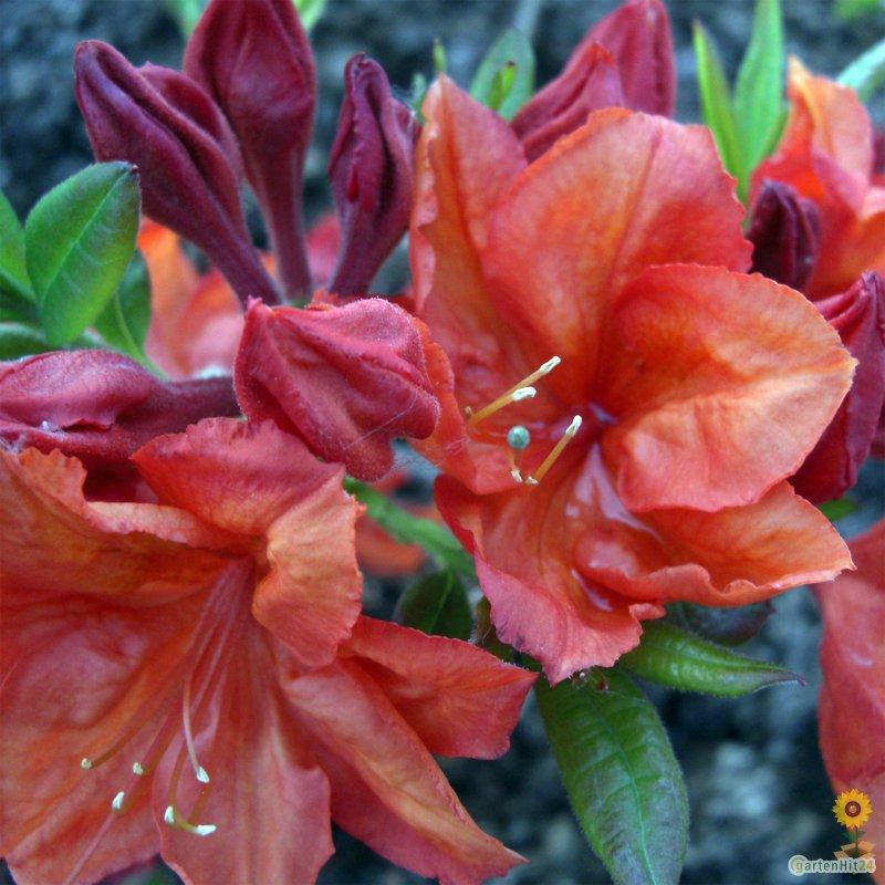 rhododendron feuerwerk sommergr ne luteum. Black Bedroom Furniture Sets. Home Design Ideas