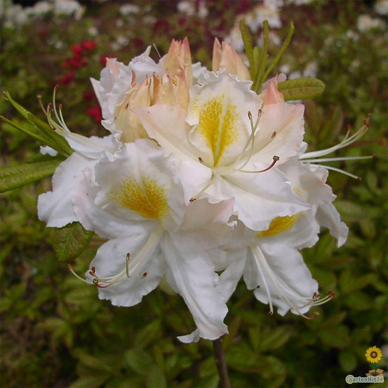 rhododendron schneegold sommergr ne luteum. Black Bedroom Furniture Sets. Home Design Ideas