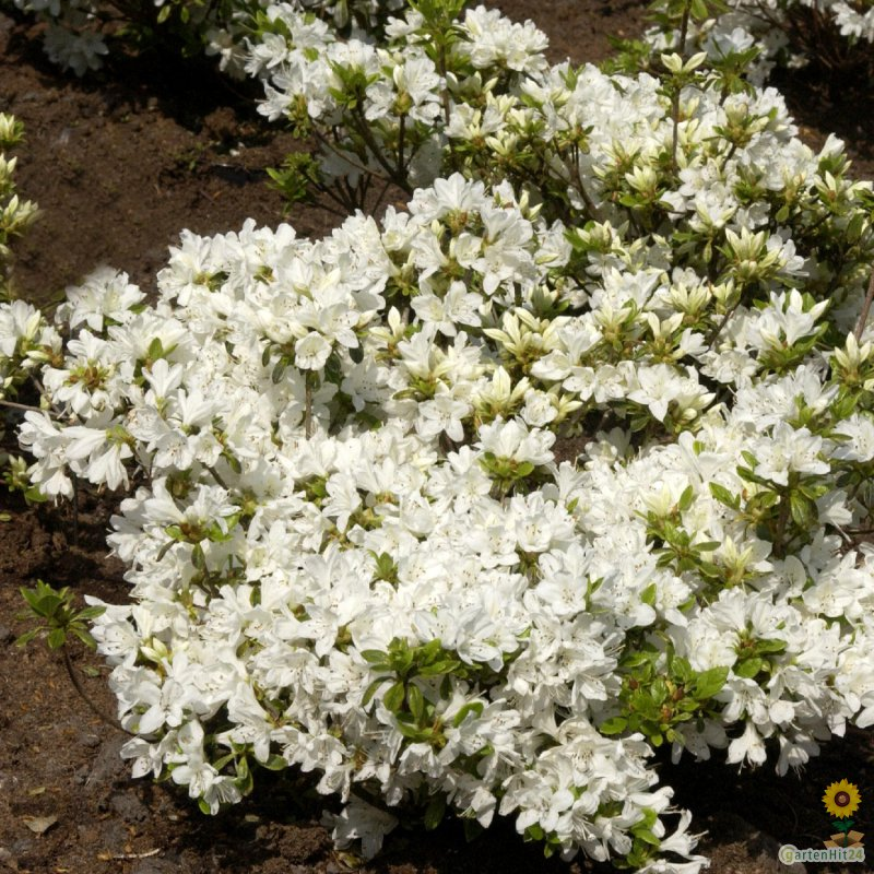 rhododendron 39 kermesina alba 39 rhododendron obtusum. Black Bedroom Furniture Sets. Home Design Ideas