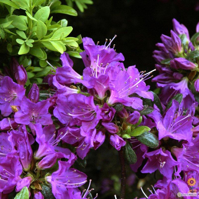japanische azalee 39 purpurtraum 39 rhododendron obtusum. Black Bedroom Furniture Sets. Home Design Ideas
