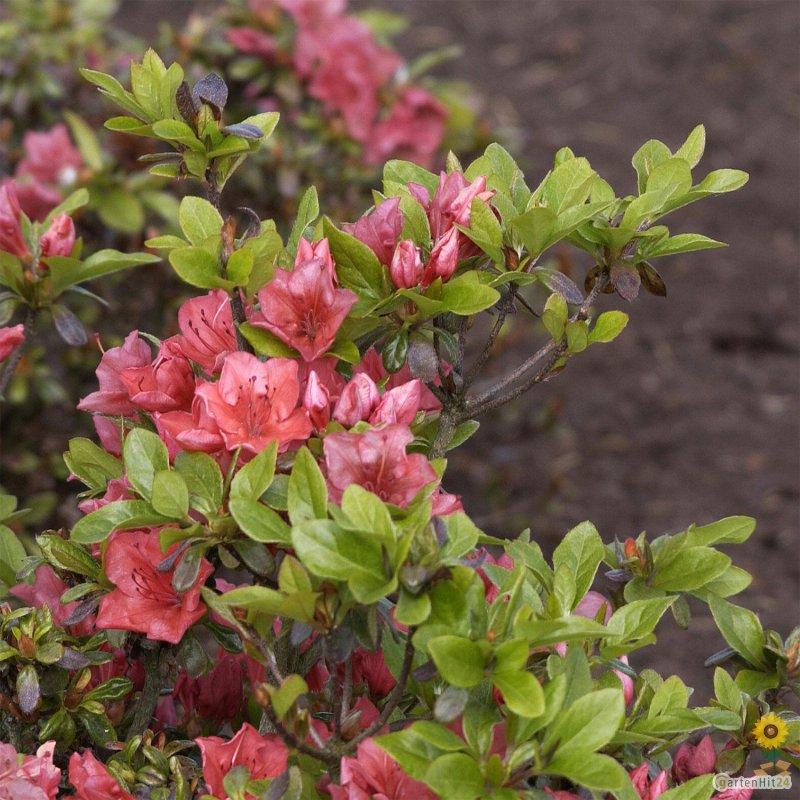 rhododendron satschiko japanische azalee obtusum. Black Bedroom Furniture Sets. Home Design Ideas