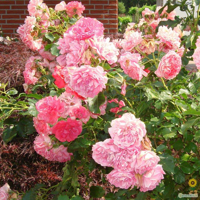 kletterrose rosarium uetersen rosa rose. Black Bedroom Furniture Sets. Home Design Ideas