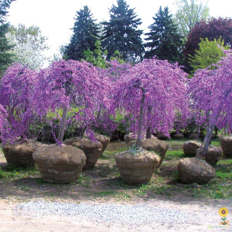 cercis canadensis judasbaum 39 lavender twist 39 kaufen. Black Bedroom Furniture Sets. Home Design Ideas