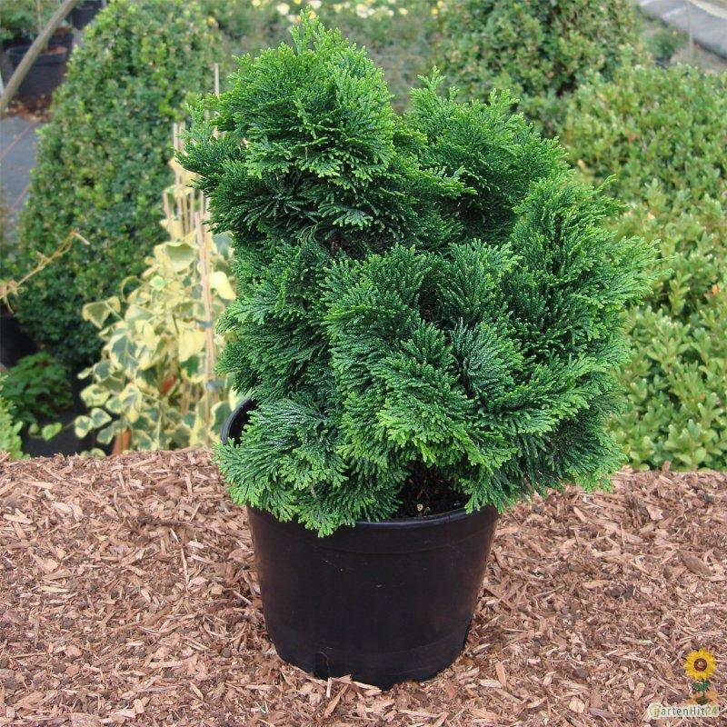 chamaecyparis obtusa 39 nana gracilis 39 online kaufen