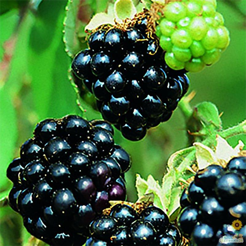 rubus fruticosus 39 black satin 39 brombeere 39 black satin. Black Bedroom Furniture Sets. Home Design Ideas