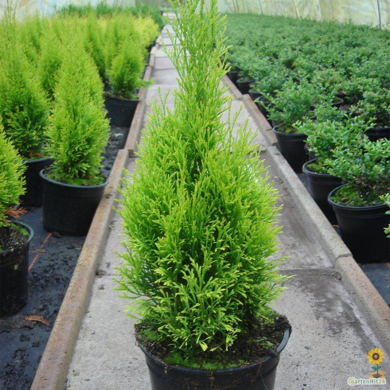 thuja occidentalis 39 golden smaragd 39 lebensbaum. Black Bedroom Furniture Sets. Home Design Ideas
