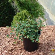 Cotoneaster dammeri Frieders Evergreen