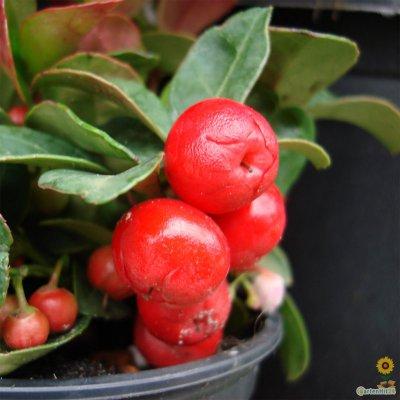 gaultheria procumbens scheinbeere rote teppichbeere. Black Bedroom Furniture Sets. Home Design Ideas