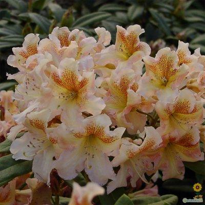 rhododendron bernstein gro blumige hybride. Black Bedroom Furniture Sets. Home Design Ideas