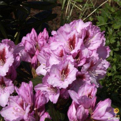 rhododendron bei online bestellen seite 2. Black Bedroom Furniture Sets. Home Design Ideas