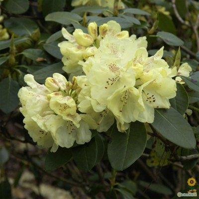 rhododendron bei online bestellen seite 3. Black Bedroom Furniture Sets. Home Design Ideas