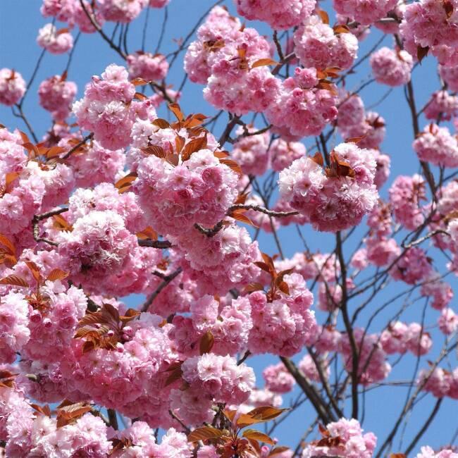 Japanische Nelkenkirsche Kanzan Prunus Serrulata