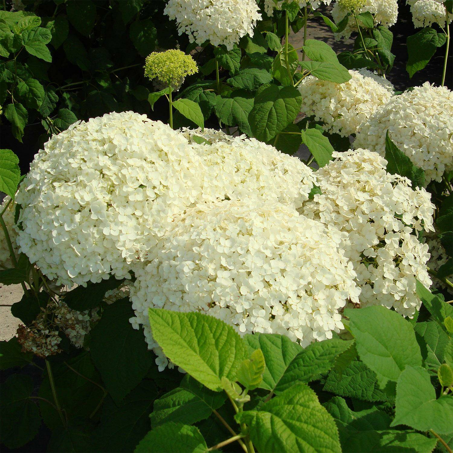 hydrangea arborescens 39 annabelle 39 ballhortensie. Black Bedroom Furniture Sets. Home Design Ideas