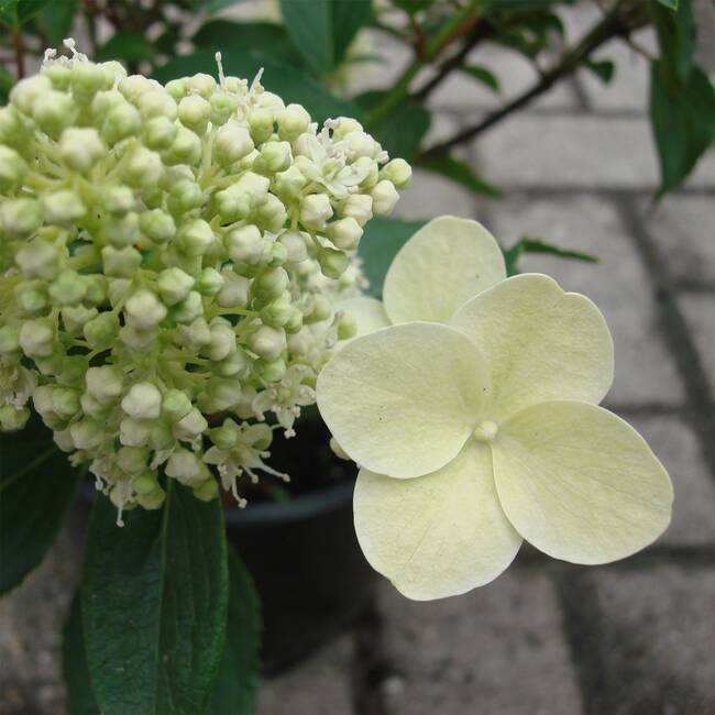 hydrangea paniculata 39 kyushu 39 rispenhortensie kaufen. Black Bedroom Furniture Sets. Home Design Ideas