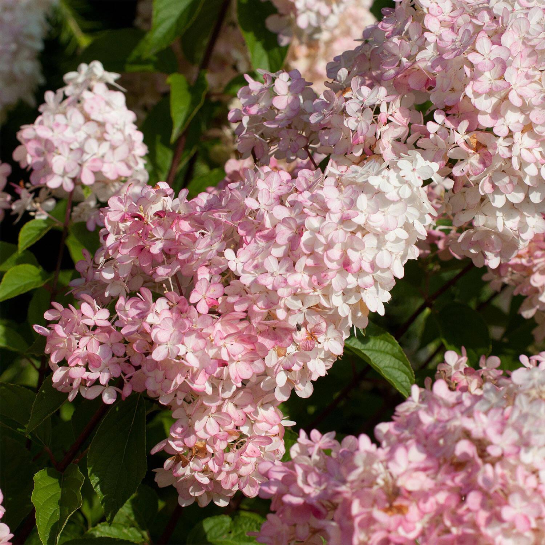Hydrangea paniculata \'Sundae Fraise\'® (Rispenhortensie)