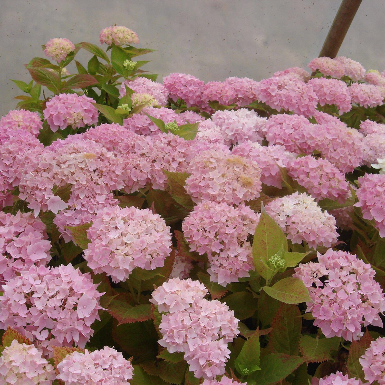 hydrangea macrophylla 39 endless summer 39 rose kaufen. Black Bedroom Furniture Sets. Home Design Ideas