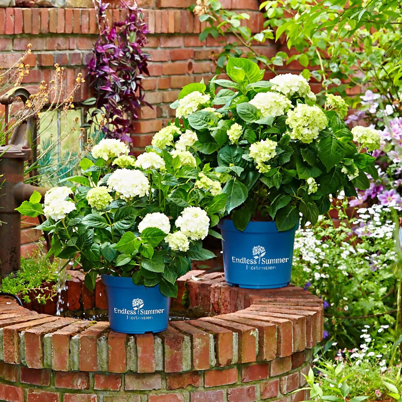 hydrangea macrophylla endless summer 39 the bride 39. Black Bedroom Furniture Sets. Home Design Ideas