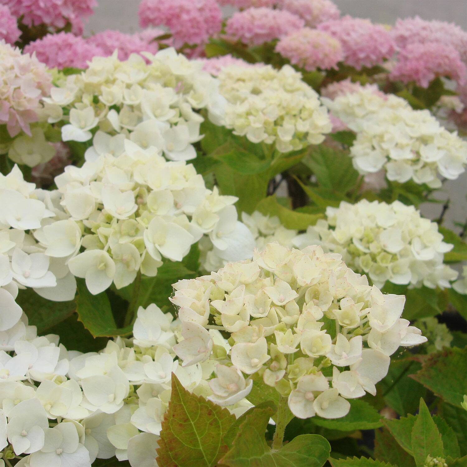 hydrangea macrophylla endless summer 39 the bride 39. Black Bedroom Furniture Sets. Home Design Ideas