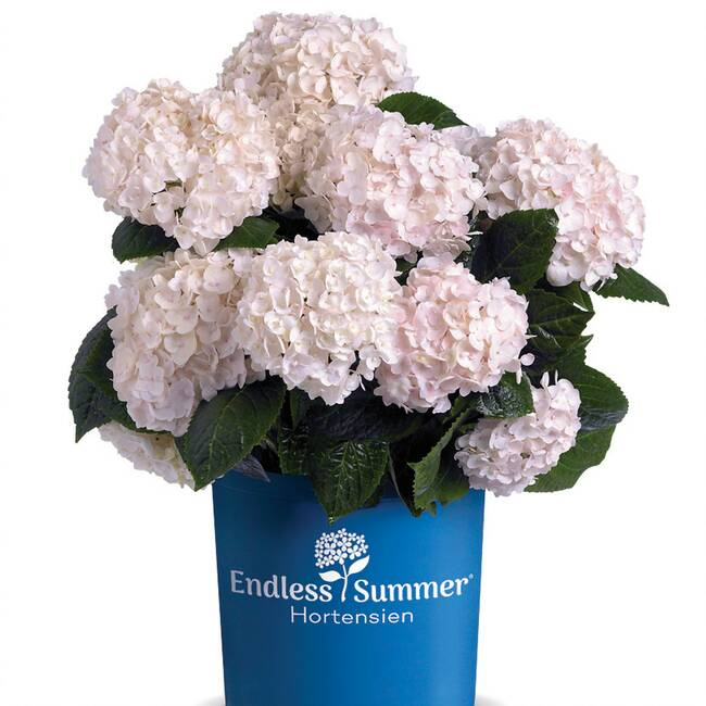 Hydrangea macrophylla Endless Summer ® The Bride C 3-5 30-40 cm