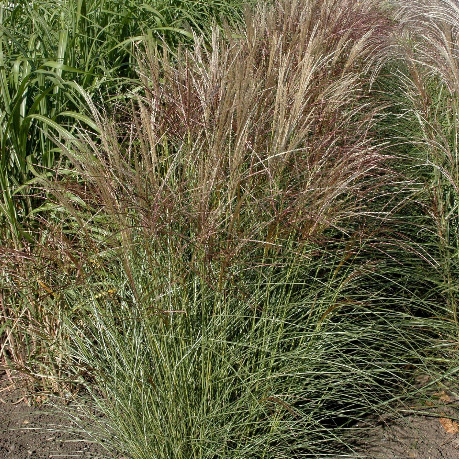 miscanthus sinensis 39 silberspinne 39 chinaschilf. Black Bedroom Furniture Sets. Home Design Ideas