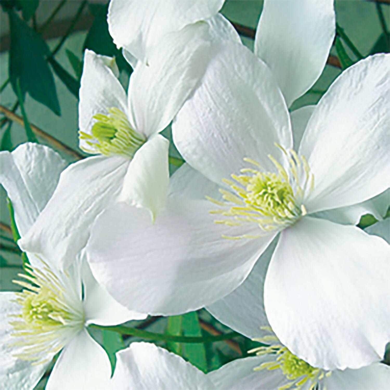 clematis montana 39 willsonii 39 anemonen waldrebe kaufen. Black Bedroom Furniture Sets. Home Design Ideas