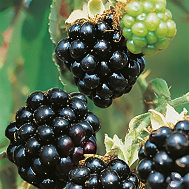 rubus fruticosus 39 black satin 39 brombeere 39 black satin 39 bestellen. Black Bedroom Furniture Sets. Home Design Ideas