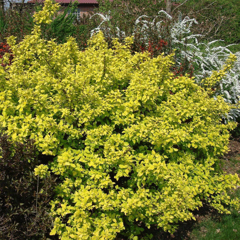 gelbe blasenspiere physocarpus dart 39 s gold. Black Bedroom Furniture Sets. Home Design Ideas