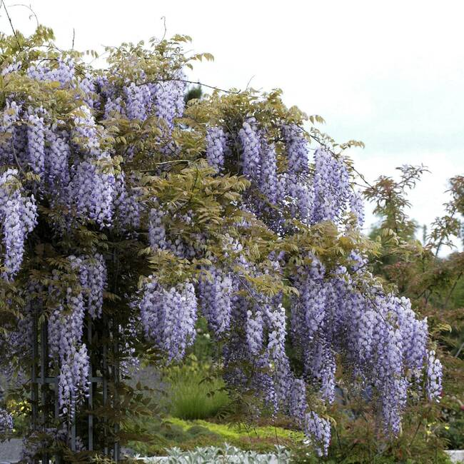 wisteria sinensis chinesischer blauregen glyzine. Black Bedroom Furniture Sets. Home Design Ideas