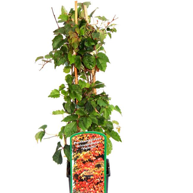 parthenocissus dreilappige jungfernrebe 39 veitchii 39. Black Bedroom Furniture Sets. Home Design Ideas