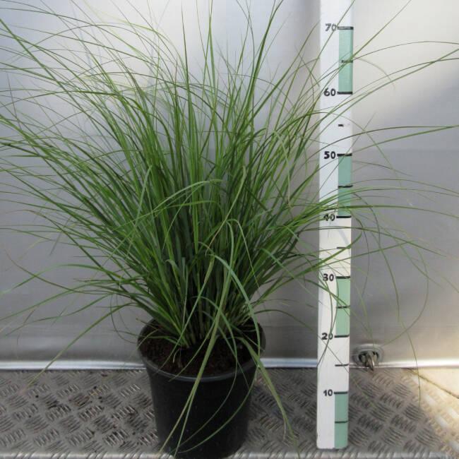 calamagrostis 39 karl foerster 39 reitgras sandrohr. Black Bedroom Furniture Sets. Home Design Ideas