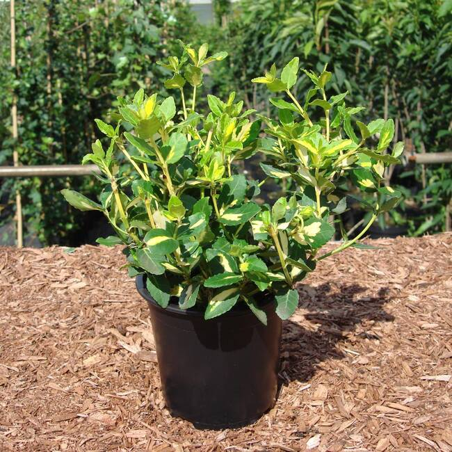Euonymus fortunei Blondy®