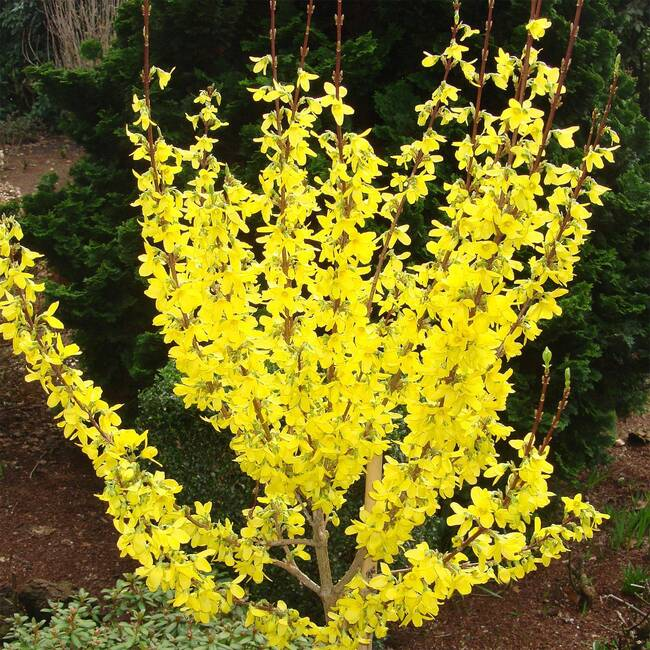 Forsythia intermedia Week End®
